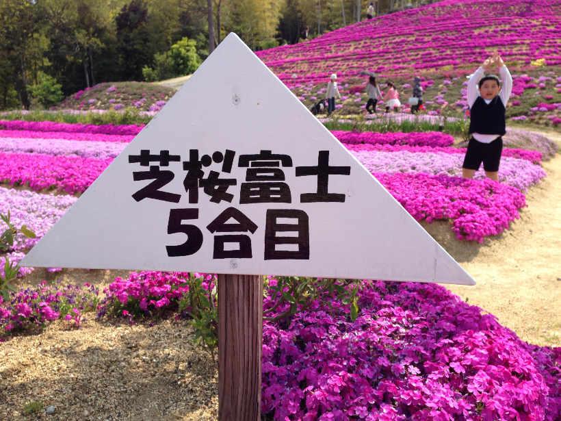 芝桜富士 5合目