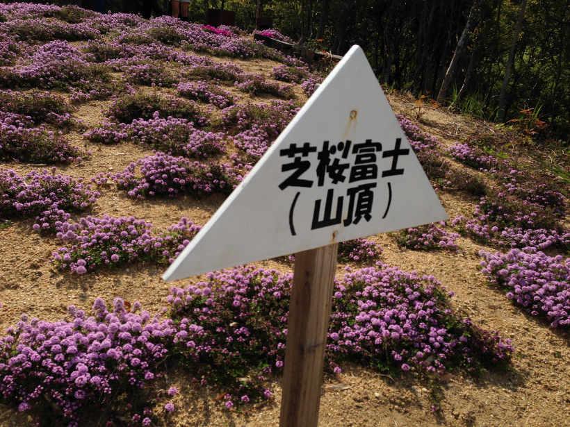 芝桜富士山頂
