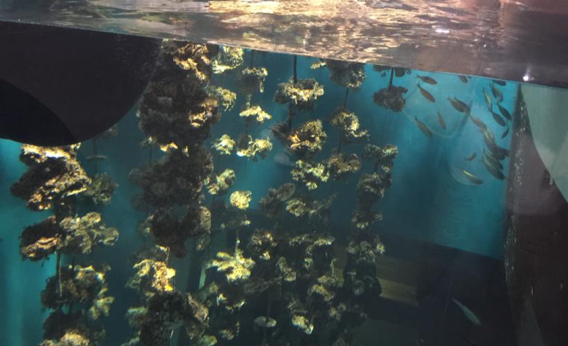 牡蠣の水槽